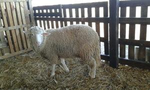 Ovce, ovnovi, i jagnjad Vitemberg i Pramenka