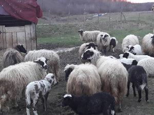 Prodajem ovce sa jagnjadima...