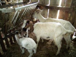 Koza koze dvije i dvoj jaradi 300km koza jare