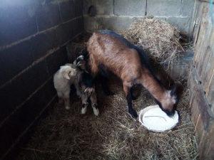 Koza i dvoje jaradi alpska kozu koze jare