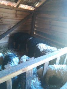 prodajem stado ovaca