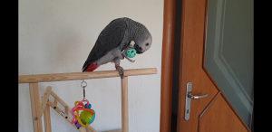 Zako papagaj (rucno hranjen)