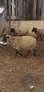 Romanovske ovce vitez