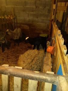 Romanovske ovce i janjad