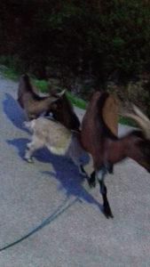 Koza koze jaradi ovce janjadi