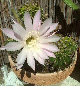 Kaktus cvijet