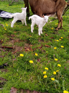 Koza sa jaradima