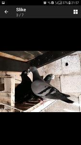 Pismonose golubovi