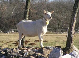 Koza na prodaju. Sanska koza.