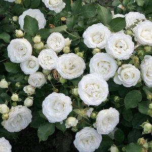 Niske bijele ruže, šaljemo brzom poštom.