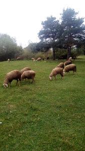 Ovce jalove