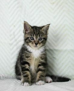 Maine coon mačići