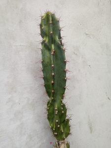 Kaktus pustinjski
