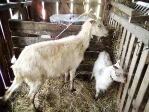 Koza kozu i jare musko koze jaradi