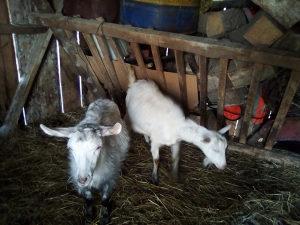 Jarice dvije sjarne kozu koze koza jare jaradi