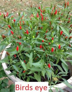Chili čili ljute paprike sadnice rasad - više vrsta