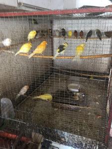 kanarince i druge ptice