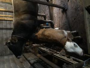 Krava i tele