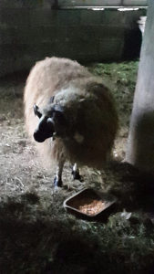 Ovan i 2 romanovske ovce moze motorna pila u racun