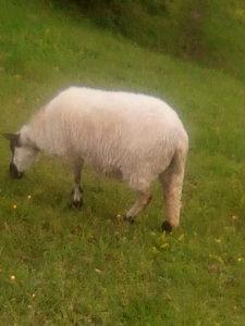 Prodajem ovce i ovcu ovca konji koze