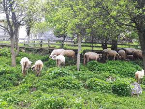 Prodajem ovce i jagnjad