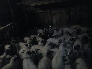 Janjci ovce
