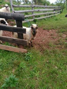 Janjad jagnjad ovce