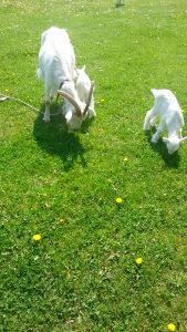 Koza i dvoje źenskih jaradi