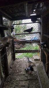 Prodajem golubove srpske visokoletace