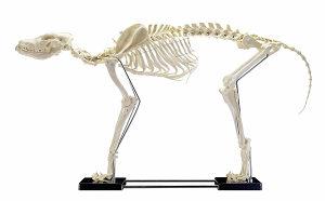 Veterina pas skelet model