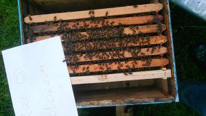 Rojevi pčele