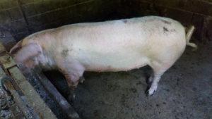Prodajem svinju