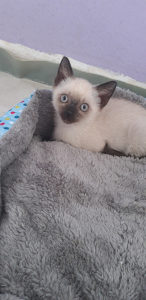 Sijamska mačka-mačić