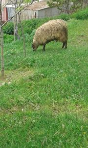 ovce, siljez