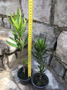 Oliander Nerium Oleander