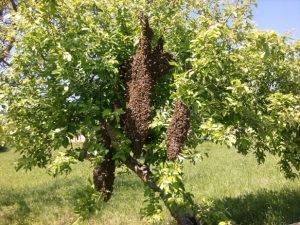 Rojevi pčela