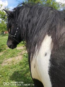 Konj sargo