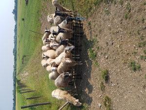 Prodajem 22 ovce