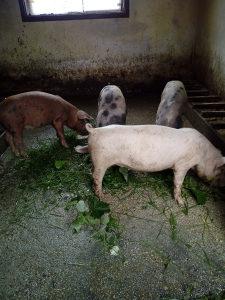 svinje prasadi 4 kom zenski