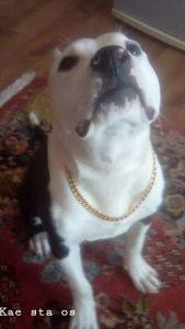 Americki stafford terrier