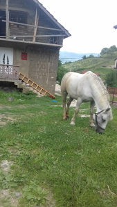 Konj zekan