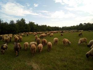 Ovan ovca ovce kurban kurbani