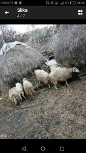 Ovce pramenke