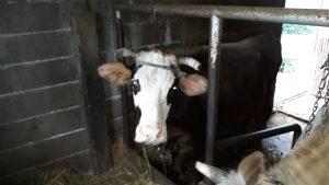Prodajem 3 steone krave na oteljaju