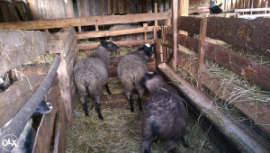 Romanovske ovce siljezice