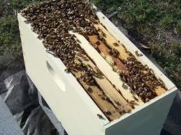 Roj pčela (pčele)