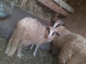 Ovce ovnici