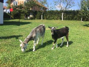 Koza i jare