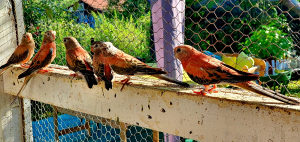 Bourke Papagaji