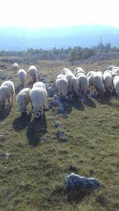 Stado ovaca Pramenke na prodaju - 70 ovaca - 12500 KM